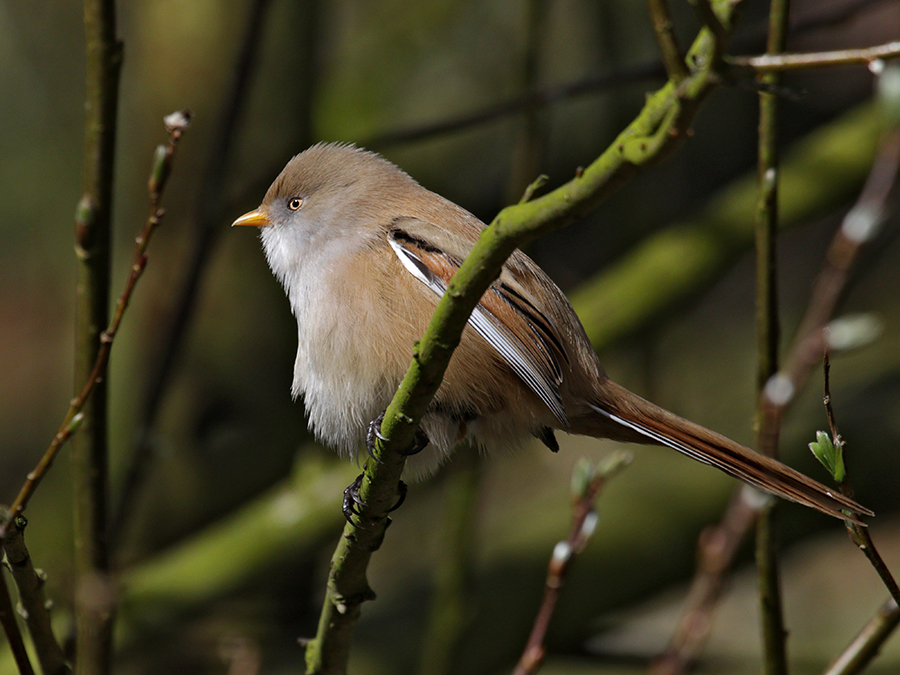 bearded tit female